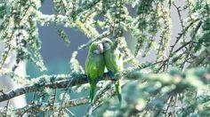beautiful green parrots birds hd wallpapers download