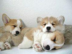 Gorgeous corgi pups