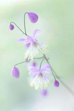 The buds are like teardrops... Thalictrum Delavayi Once a bud break, it looks like a firework:) I got this euphorbia, ...