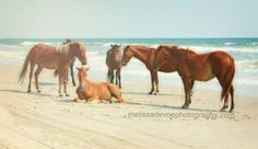 Movementsim movement is an online horse game with real life feral ponies on the outer banks of north carolina photo by melissa devoe ccuart Image collections