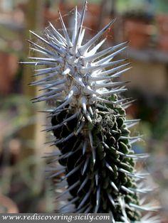 Botanical Garden Palermo - Cactus