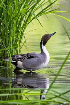 Pintail or northern pintail (Anas acuta)   duck, birds, wildlife