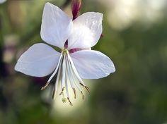 Jede einzelne Blüte der Gaura ist ein Hingucker