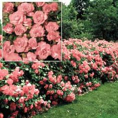 a good smelling fence to keep Finn in our yard Rose Hedge, Flower Hedge, Beautiful Roses, Pretty Flowers, Beautiful Gardens, Rose Garden Design, Garden Hedges, Yard Care, Flowering Trees