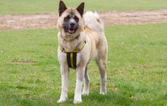 Can you give Rescue dogs a home? All of our dogs are looking for a new home. Find out more today at Dogs Trust! Japanese Akita, Bear Attack, Dogs Trust, Akita Dog, Dark Places, Rescue Dogs, Husky, Adoption, Wildlife