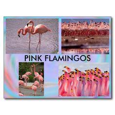 Pink Flamingos Postcard