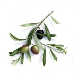 Branch with leaves and olives Botanical Drawings, Botanical Prints, Olive Oil Bottles, Olive Gardens, Fruit Art, Olive Tree, Vintage Flowers, Planting Flowers, Watercolor Paintings