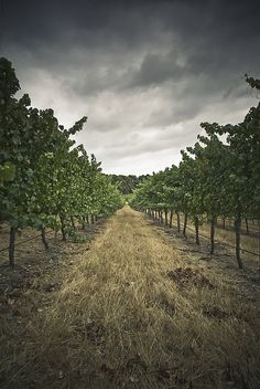 St Margaret River for wine in Australia is a must (not the best picture to use I know) Places Around The World, Travel Around The World, Around The Worlds, Western Australia, Australia Travel, Landscape Photographers, Wine Country, Places To See, Vineyard