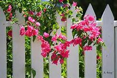 Courtyard Paintings With Bougainvillea Vines - Yahoo Image Search Results