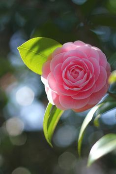 Light shining through. Camellia