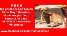 PEKE Me perdi por Los Olivos 16 de Mayo (hembra) si me ves por favor llamar a mi casa 987566479 / 940145019 Mil gracias  https://www.facebook.com/activismoanimald/photos/pcb.592876830855631/592876770855637/?type=1&theater