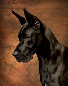 Great Dane...I NEED this dog