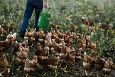 Agricultural sustainability and intensive production practices Animal Agriculture, Livestock, Farms, Poultry, Sustainability, Stuffed Mushrooms, Essentials, Eggs, Industrial