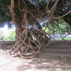 Found at SSR Botanical Gardens Mauritius