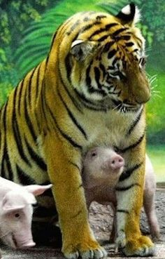 Tiger, Piggies
