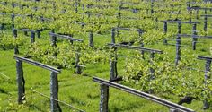 Albariño wine, with the Rias Baixas appellation of origin, is a high quality white wine. Photograph: iStock