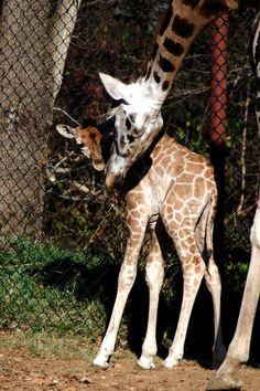 Baby Giraffe Gets a Name at Dickerson Park Zoo | Springfield, Missouri