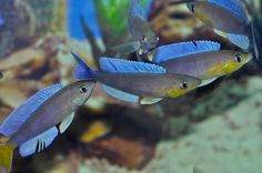 """Лептозома (Cyprichromis leptosoma """"Mpulungu""""). Цихлида оз. Танганьика. Существуют две формы этой разновидности желтохвостая и синехвостая."""