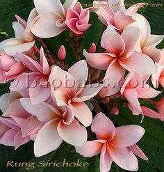 Plumeria rubra RUNG SIRICHOKE. pink to cream-pink with salmon central area. Petals broad elliptical, overlapping, medium substance. Leaves beautifully dark green, often with purple hue and purplish veining, not shiny elliptical with pointed tip. Long flowering. Multiple flower buds.