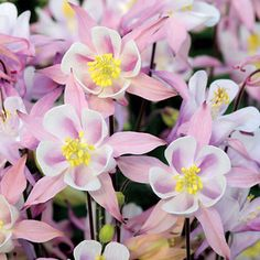 'Winky Pink & White' is a new member of the much loved Winky Columbine series. This Columbine produces eye catching beautiful blooms of light pink and white above pretty green foliage. Reaches a height of 14-18 inches with a spread of 12 inches. Great as a border or in a container. Zones 3-10.