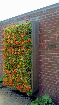 Nasturtium in the garden and pot care around- Kapuzinerkresse im Garten und Topf rundherum pflegen Nasturtium vertical garden - Jardin Decor, Trellis Fence, Garden Trellis, Lattice Fence, Bamboo Fence, Chicago Botanic Garden, Vertical Gardens, Vertical Garden Wall, Vertical Bar