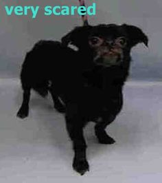 SUPER URGENT Manhattan Center MARTY – A1047475 MALE, BLACK, CHIHUAHUA LH / PUG, 10 yrs STRAY – STRAY WAIT, NO HOLD Reason STRAY Intake condition EXAM REQ Intake Date 08/11/2015 http://nycdogs.urgentpodr.org/marty-a1047475/