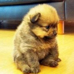 pomsky puppies | tiny cute pomsky dog