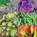 Succulents work well in an outdoor rock garden or grown indoor in a terrarium.
