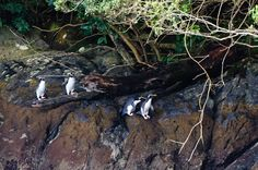 Penguin sighting in Doubtful Sound! New Zealand. The Penquins are very shy and they star at you peeking out from under a log. Doubtful Sound is one of the most beautiful places I have been