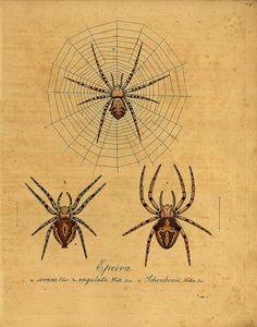 hurray for biological/botanical illustrations! // spider.