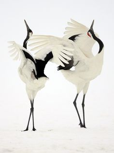 black and white - birds - Dance of Japanese cranes Simone Sbaraglia (Miami, FL) Photographed February Hokkaido, Japan Pretty Birds, Love Birds, Beautiful Birds, Animals Beautiful, Rare Animals, Animals And Pets, Wild Animals, Japanese Crane, Japanese Bird