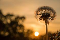 photograph of dandelion during sunrise HD wallpaper