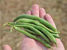 Blue Lake Green Bean Seeds - Non-GMO - Combined Shipping Blue Lake bean has been considered the benchmark standard of green beans Great in salads and casseroles Easy to grow and requires little maintenance Green Bean Seeds, Green Beans, Cream Soup Recipes, Garden Seeds, Fruit Garden, Herb Garden, Vegetable Garden, Garden Plants, Bush Plant
