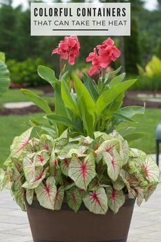 Container plants & keeping pots and planters looking lush and healthy is easier if you choose plants that are well matched to the growing conditions. This is especially important for containers in full sun. Get inspired by some winning combinations. Full Sun Container Plants, Full Sun Plants, Container Gardening Vegetables, Container Flowers, Flower Planters, Vegetable Gardening, Full Sun Flowers, Plants By The Pool, Full Sun Shrubs