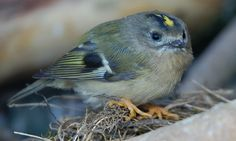 A tiny Gold Crest landed outside our office windows