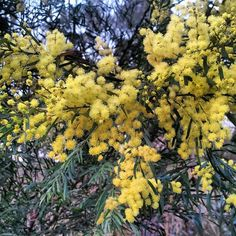 Australian Wildlife - Cootamundra Wattle. by dgfoley, via Flickr