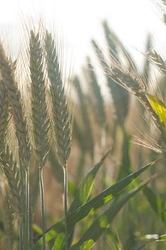 wheat swaying in the breeze