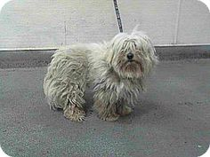 Downey, CA - Maltese Mix. Meet 16-00579, a dog for adoption. http://www.adoptapet.com/pet/13344996-downey-california-maltese-mix