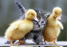 Kitten with two ducklings - Richard Austin Images