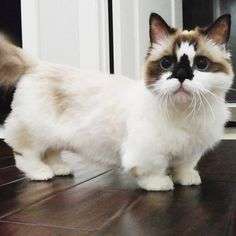 He's an Instagram famous munchkin cat with beautiful blue eyes and adorable attitude.