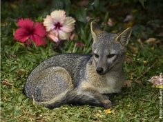 Cachorro-do-Mato also called Crab-Eating Fox (Cerdocyon thous) > Zoológico de Salvador, BA, Brasil