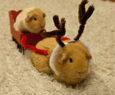 cute guinea pigs - Google Search