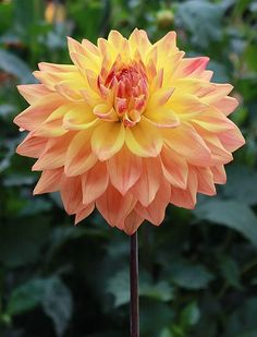 """""""Baron Keith"""" Dahlia - height 5' and has 5"""" blooms."""