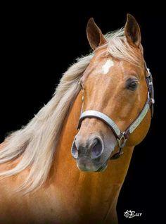American Quarter Horse .