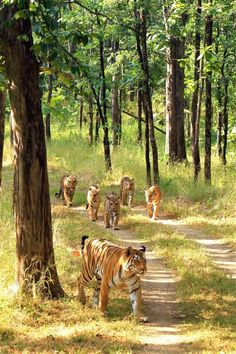 Amazing wildlife. Tigers photo