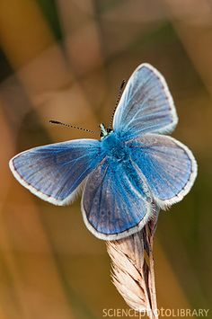 Male common blue butterfly (Polyommatus icarus) on a seedhead -  Credit: Dr. John Brackenbury/Science Photo Library