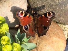 Peacock butterfly Hove 8th April 2015