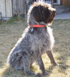 Wirehaired Pointing Griffon GIFFORD aka Point Mountains Sarge