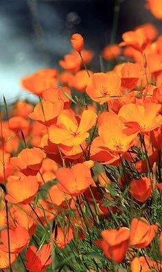 California Poppy, Hite Cove trail near El Portal, California; photo by Jason… Orange Flowers, Wild Flowers, Beautiful Flowers, Flower Pictures, Nature Pictures, Orange Aesthetic, California Poppy, Beautiful Gardens, Flower Power