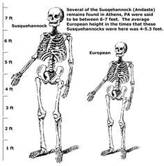 """... after reading numerous accounts of these gigantic skeletons being found throughout this area, that this is not a """"legend,"""" it is a fact. These Susquehannocks (Andastes) were GIANTS especially to the men of average height (4- 5.3 feet) of that time period, but also seemed """"huge"""" to the people who dug them up over the past 100 years.  The Andaste's AVERAGE height seems to be between 6 and 7 feet, with some exceptional human specimens being recorded to be about 8 feet in height."""